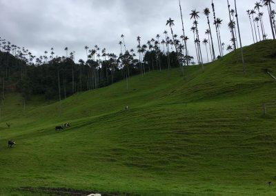 Valle del Cocora - nejvyšší palmy světa